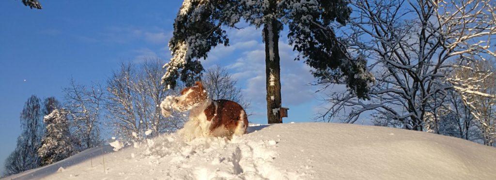 Hallonbos Kennel - Welsh Springer Spaniel
