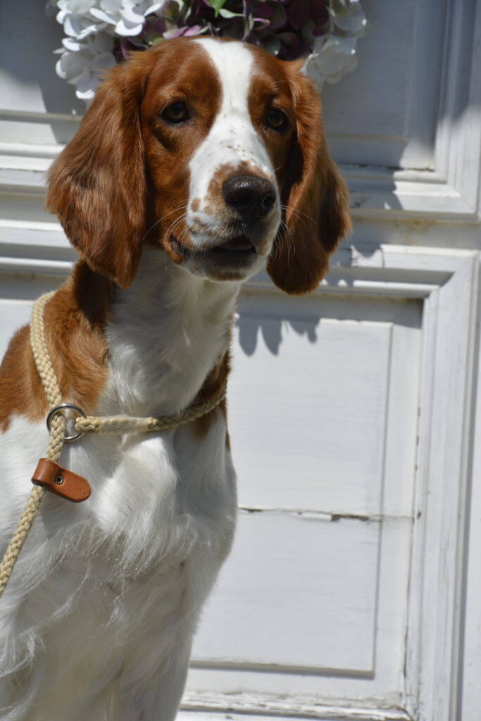 "Hallonbos Blissful Bon Bon ""Fleury"" - Welsh Springer Spaniel - Hallonbos"